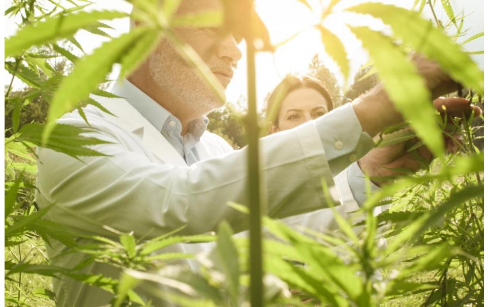 All You Need to Know About Cannabinoids, Flavonoids and Terpenes